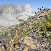 Location: Terwhytt Cirque, Kananaskis Country, AB, Canada; alpine elevation.Date: 2014-08-18With Tonestus lyallii (left).