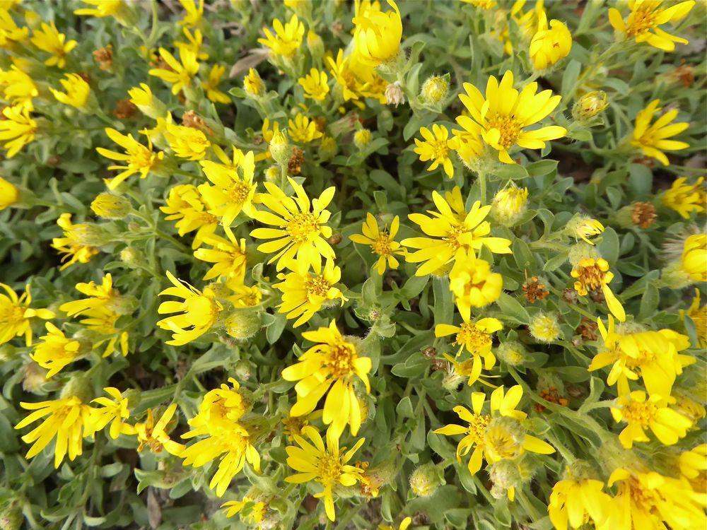 Photo of Hairy Golden Aster (Heterotheca villosa) uploaded by growitall