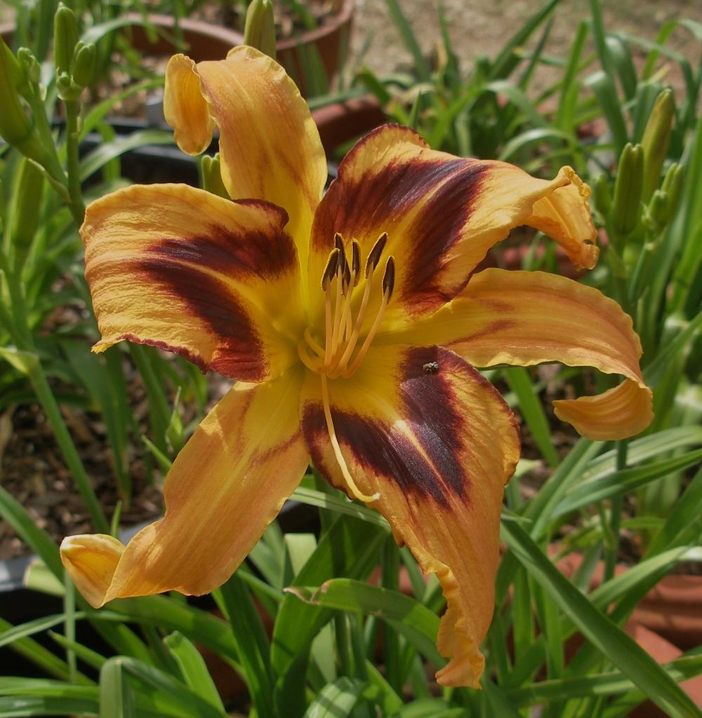 Photo of Daylily (Hemerocallis 'Spacecoast Tigertail Tango') uploaded by needrain