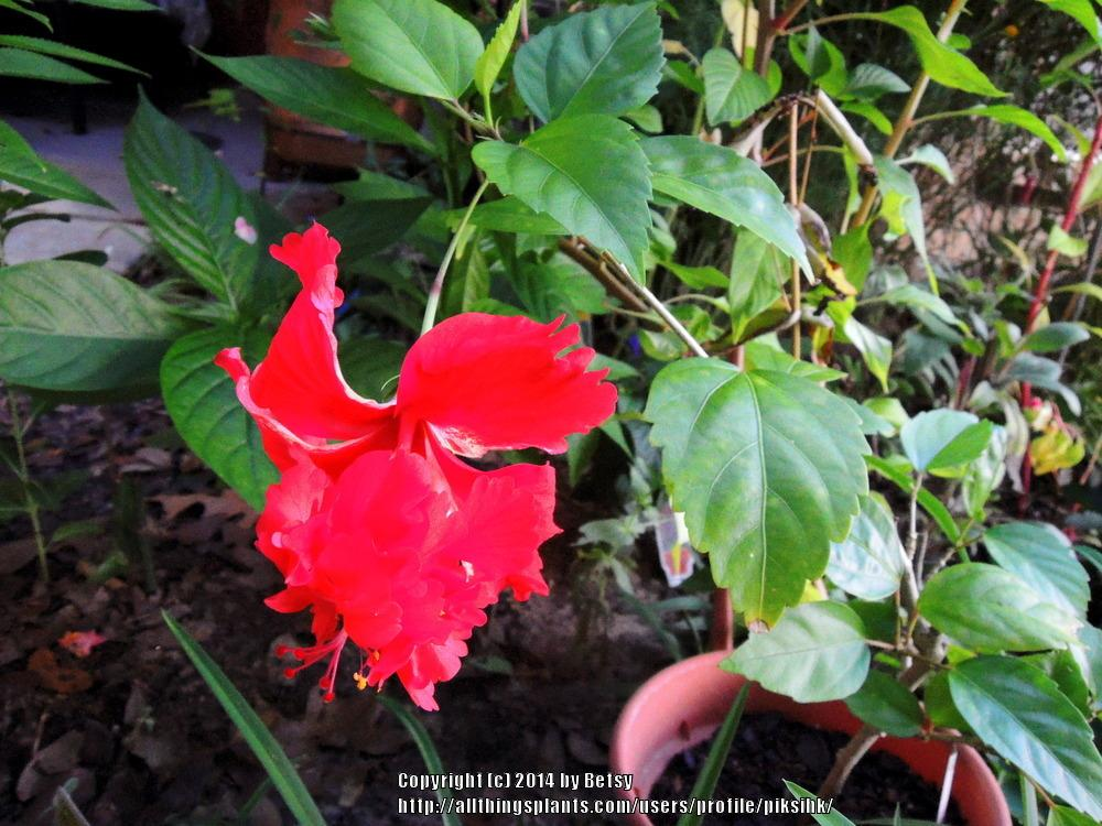 Photo of Tropical Hibiscus (Hibiscus rosa-sinensis 'El Capitolio Bloody Mary') uploaded by piksihk