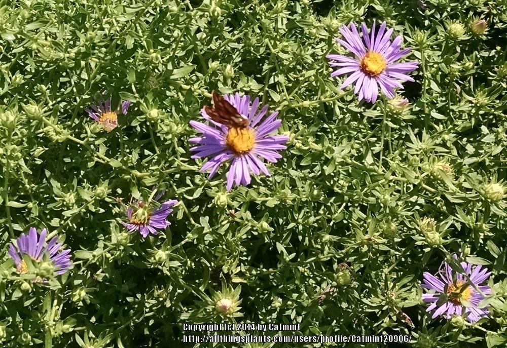 Photo of Aromatic Aster (Symphyotrichum oblongifolium 'October Skies') uploaded by Catmint20906
