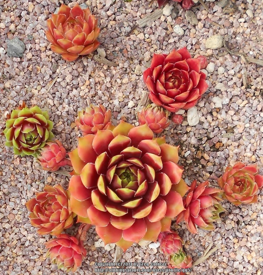 Photo of Hen and Chicks (Sempervivum 'Atroviolaceum Heimlich 2') uploaded by gg5