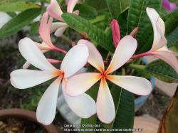 Thumb of 2014-09-07/GigiPlumeria/90efe2