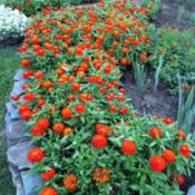 Zinnia Zahara Double Fire