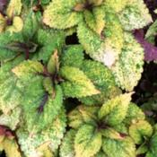 Date: 9/5/14Honey Crisp is another vigorous Ball Seed coleus introd