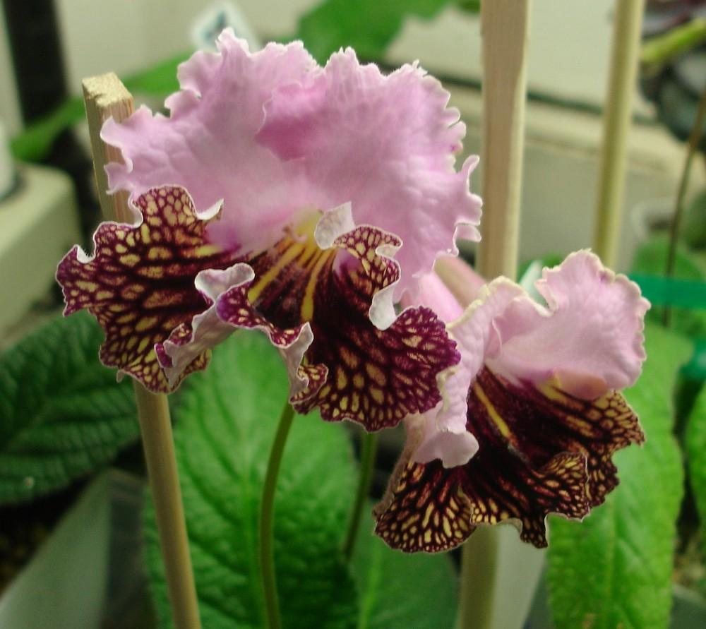 Photo of Cape Primrose (Streptocarpus 'Drako') uploaded by kkaymci55