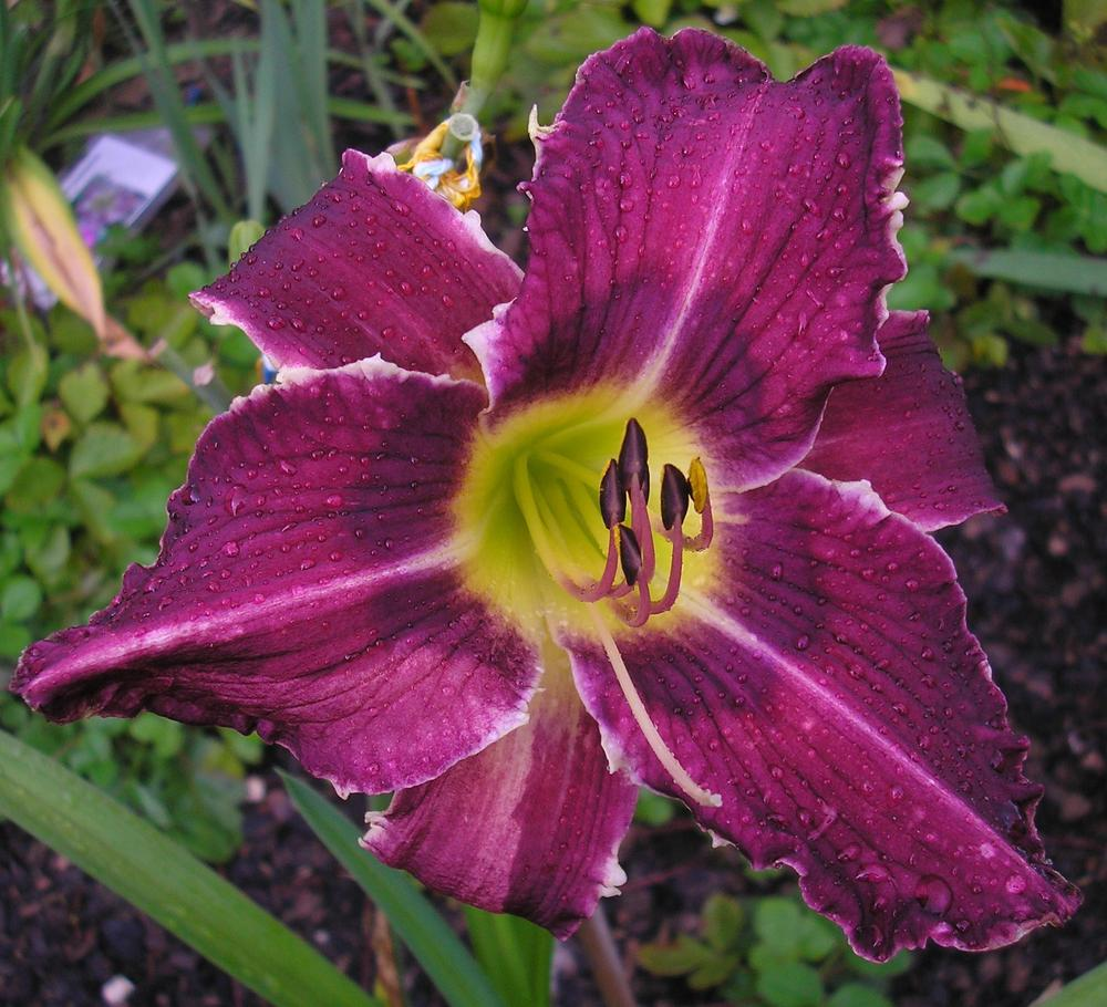 Photo of Daylily (Hemerocallis 'Tooth Tower') uploaded by ladymary5