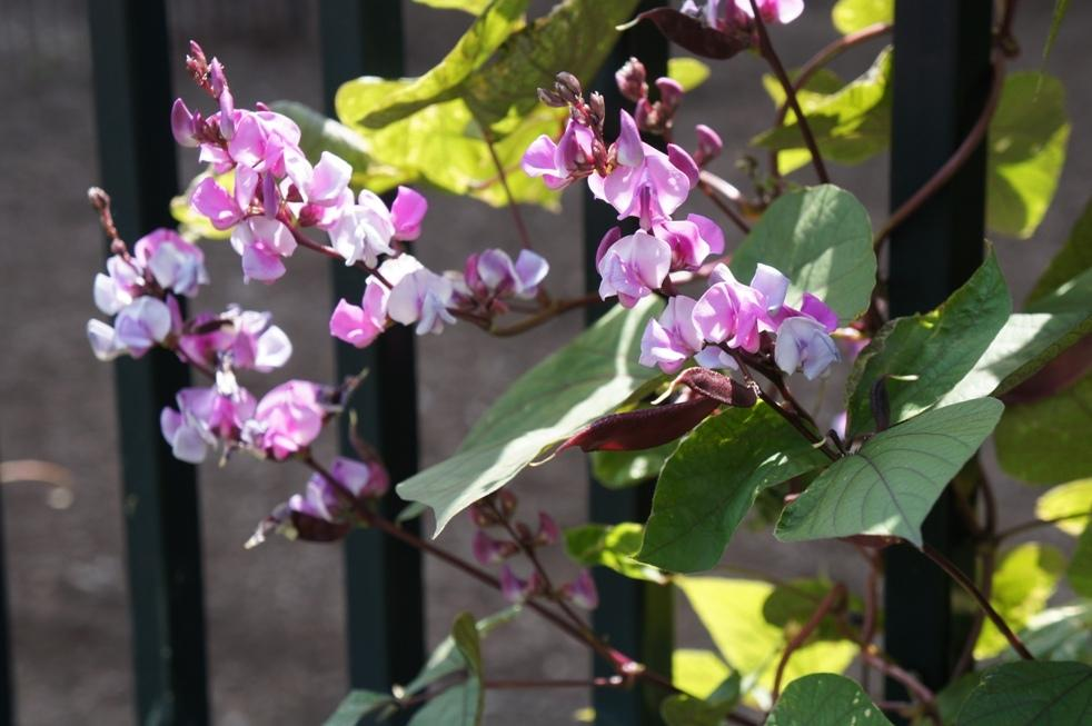 Photo of Purple Hyacinth Bean (Lablab purpureus) uploaded by skylark
