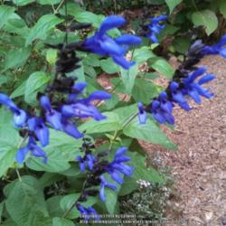 Salvias and Agastaches: Gardener's Delight