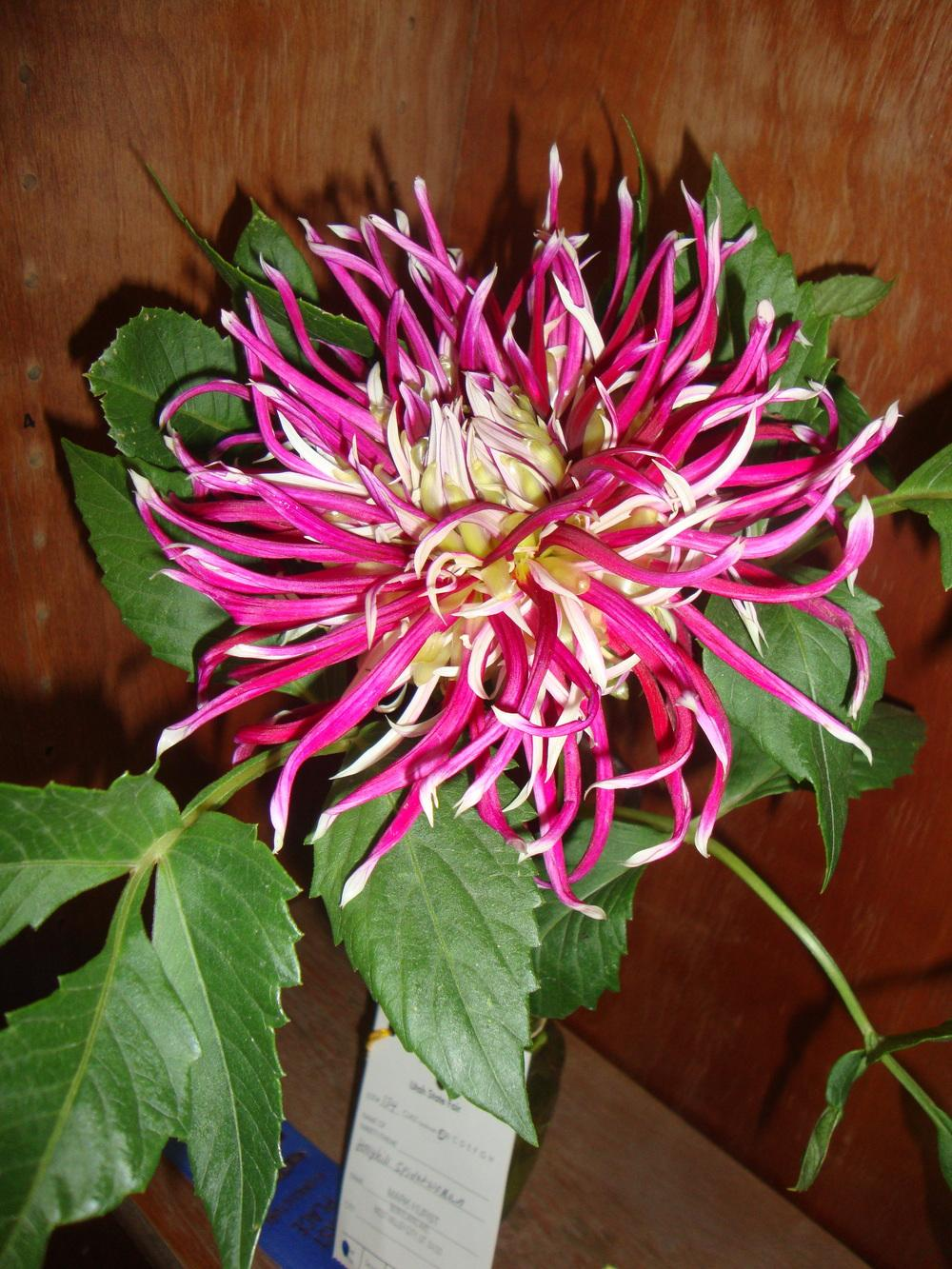 Photo of Dahlia 'Hollyhill Spiderwoman' uploaded by Paul2032