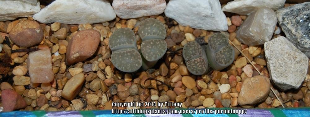 Photo of Living Stones (Lithops) uploaded by purpleinopp