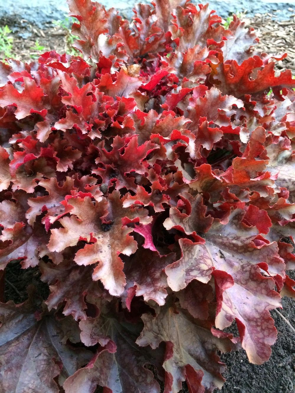 Photo of Coral Bells (Heuchera Dolce® Cinnamon Curls) uploaded by Njiris