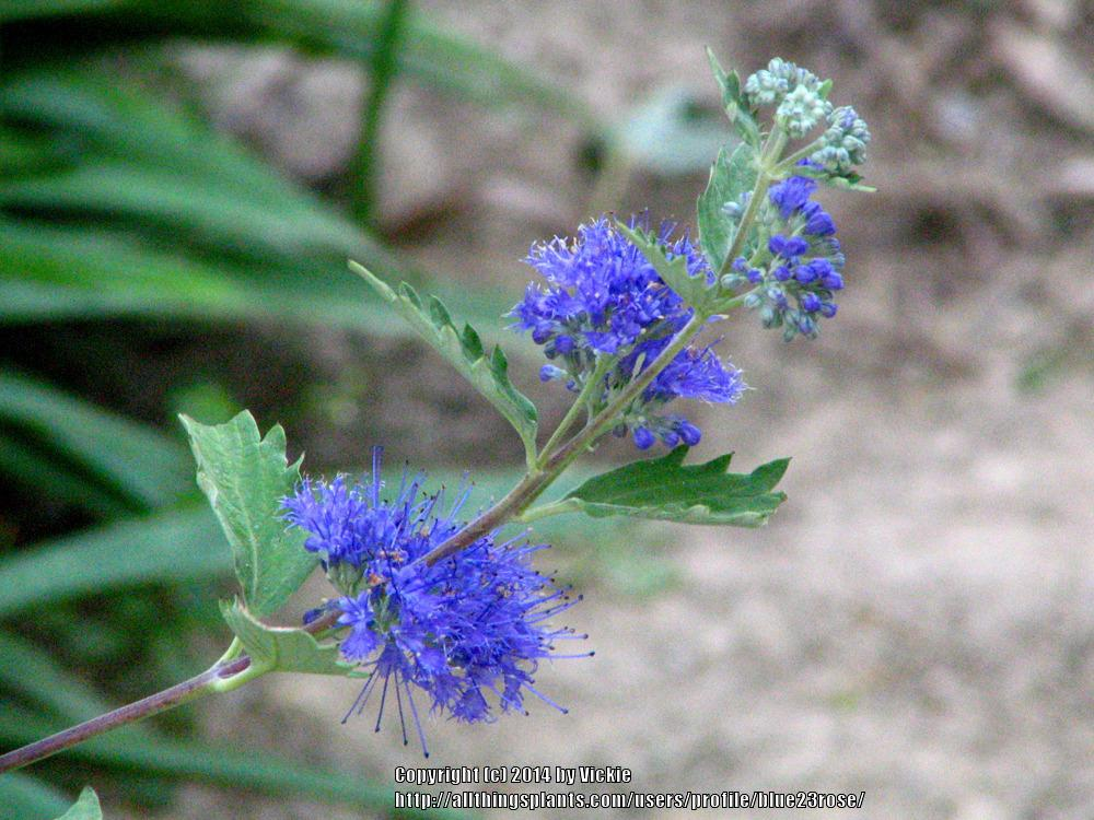 Photo of Bluebeard (Caryopteris x clandonensis 'Dark Knight') uploaded by blue23rose