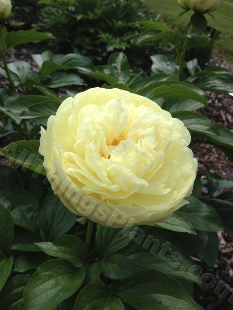 Photo of Herbaceous Peony (Paeonia 'Melissa') uploaded by magnolialover