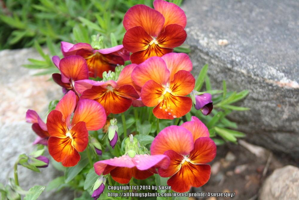Photo of Pansy (Viola x wittrockiana 'Nature Mulberry Shades') uploaded by 4susiesjoy
