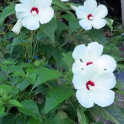Hibiscuses of the Continental United States
