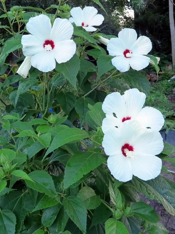 Hibiscuses Of The Continental United States Gardenorg