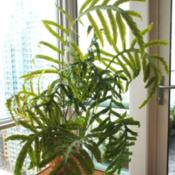 Location: Jersey City, NJDate: 2013-02-27grew accidentally from spores in orchid plant around 2003-2004