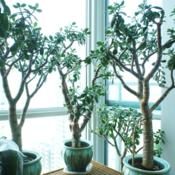 Location: Jersey City, NJDate: 2013-04-16sev of my jades grown from cuttings; center: 20 year old, left/ri