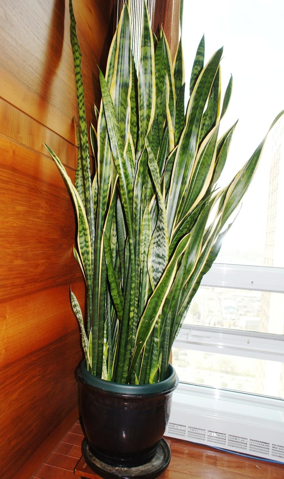 snake plants plant care and collection of varieties. Black Bedroom Furniture Sets. Home Design Ideas
