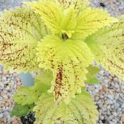 Location: Central NJDate: 9/11/14Coleus Pele