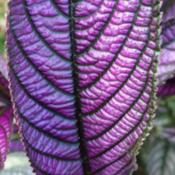Location: Central NJDate: 9/11/14Persian Shield leaf detail