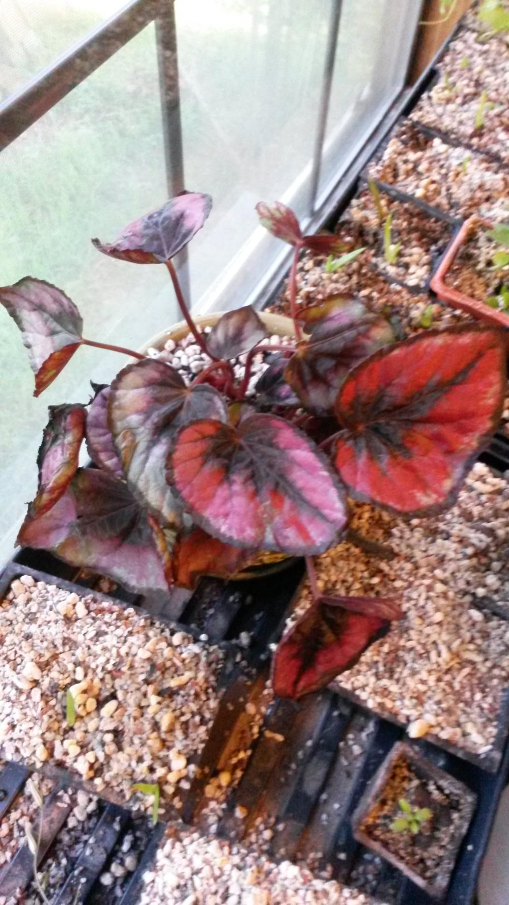 Tropicals forum rescued an begonia rex from walmart garden thumb of 2014 09 14adamgreena551a0 mightylinksfo
