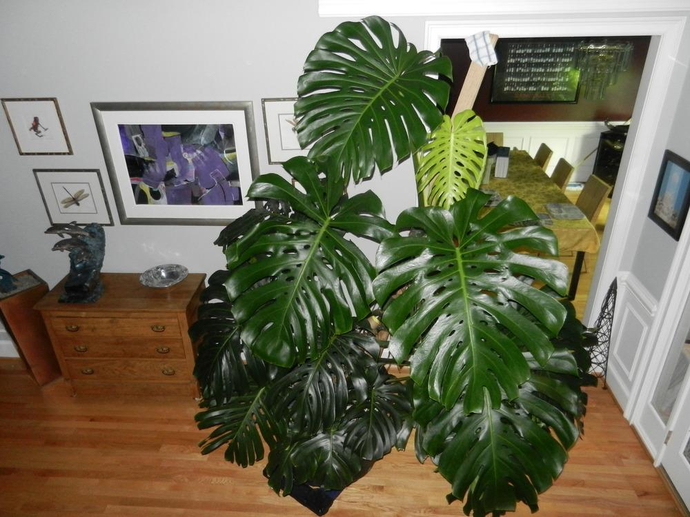 Houseplants forum one of my larger house plants all things plants