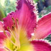 Location: Home gardenDate: 9.14.2014First bloom, plant arrived late August from Maryott's.