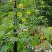 Location: My Northeastern Indiana Gardens - Zone 5bDate: 2014-07-16First year plant from winter sown seed.
