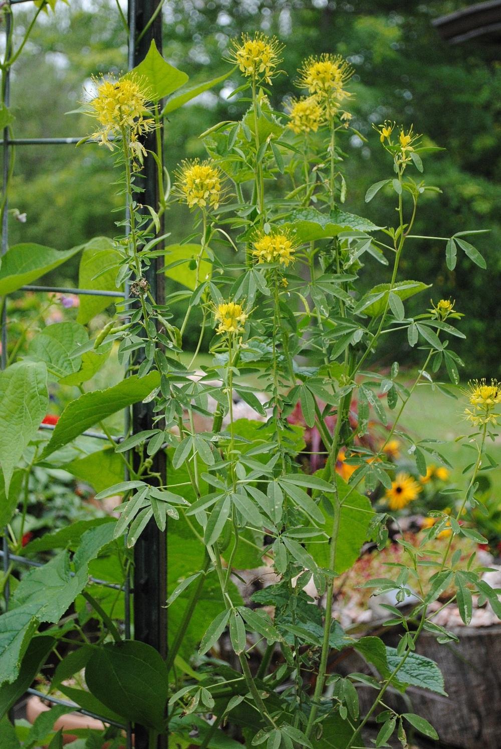 Photo of Yellow Bee Plant (Cleomella lutea) uploaded by chelle