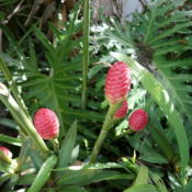 Location: my garden, Sarasota FLDate: 2014-09-15Gently squeezing the cones at this stage gives gingery