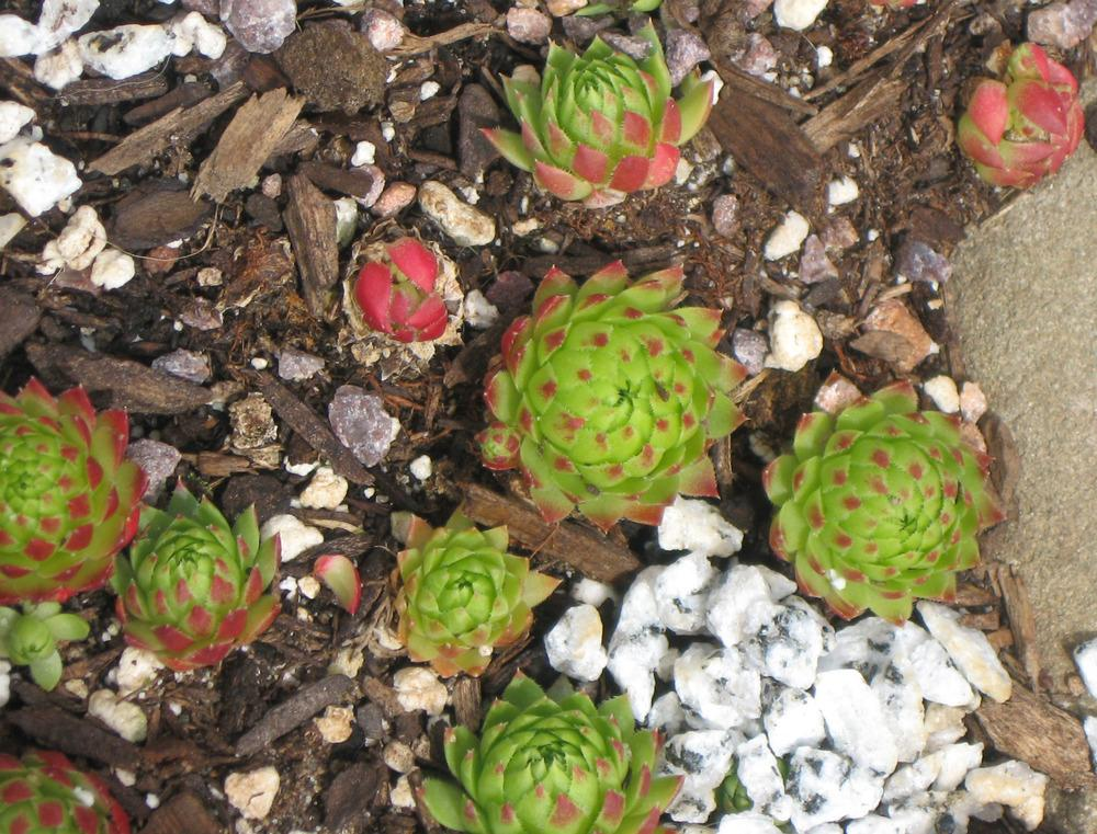 Photo of Rollers (Sempervivum globiferum subsp. preissianum 'from Belianske Tatras') uploaded by MotherRaphaela