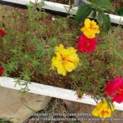 Location: Plano, TXDate: 2014-09-18More seedlings in bloom
