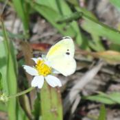 Dainty Sulphur butterfly.  This is their host plant but also serv