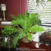 Location: Daytona Beach, FloridaDate: 2014-09-19 Cultivar 'Silver Lady'