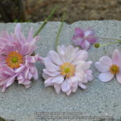 Location: My garden in N E Pa. Date: 2014-09-18Anemone double, semi-double and single flowers together