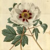 Location: Botanical magazine 47: t. 2175, Paeonia moutan var. papaveracea 1820Author Sims