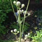 Location: North Carolina Botanical Gardens Chapel Hill, NCDate: late June 2014Identified as Northern Rattlesnake-master.