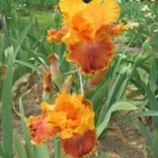 Location: Winterberry Iris Garden, Cross Junction, VADate: May 2012The colors really glowed on this one.
