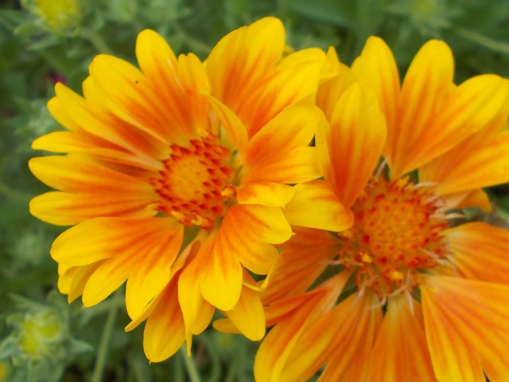 Blanket flowers plant care and collection of varieties garden add or edit informational text about this plant mightylinksfo