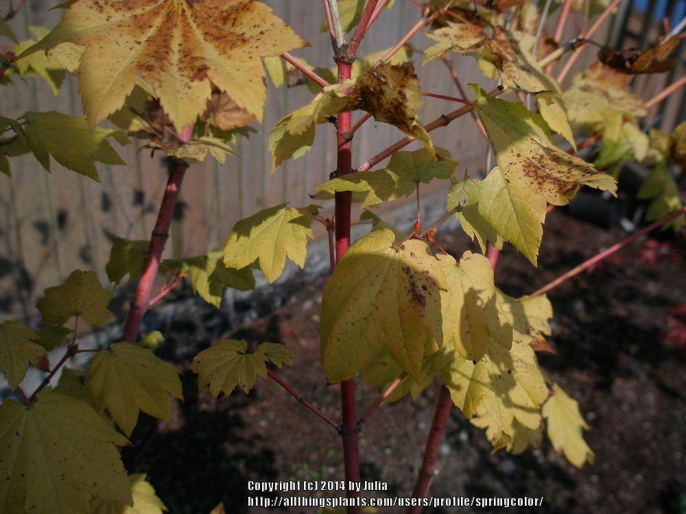 Photo Of The Leaves Of Vine Maple Acer Circinatum Pacific Fire