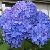 Location: My garden, central NJ, Zone 7ADate: 9/22/14Hydrangea Endless Summer on the last day of summer, 2014