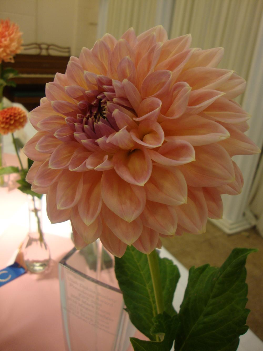 Photo of Dahlia 'Castle Drive' uploaded by Paul2032