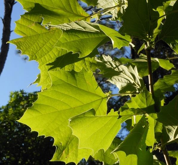 Photo of American Sycamore (Platanus occidentalis) uploaded by greene