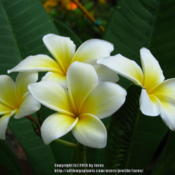 Location: In our garden - San Joaquin County, CADate: 2014-09-22Plumeria rubra 'Celadine' first time bloom