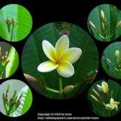 Location: In our garden - San Joaquin County, CADate: whole month of September 2014Watching Plumeria Celadine bloom