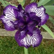 Location: My garden, central NJ, Zone 7ADate: Spring 2013Iris Line Drive
