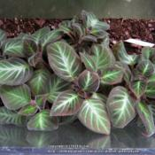 Location: Daytona Beach, FloridaDate: 2014-09-26 Growing and spreading in a Terrarium (10 gal aquarium w