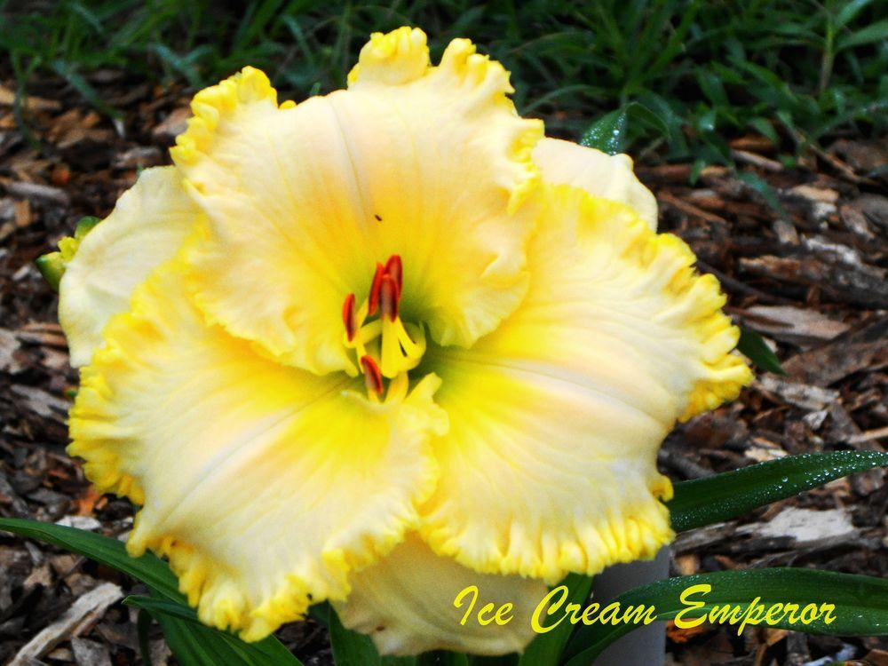 Photo of Daylily (Hemerocallis 'Ice Cream Emperor') uploaded by tommy71